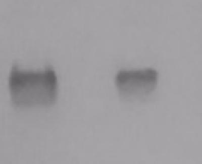 Anti-Chikungunya Envelope MAb 1253-25 1MG