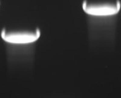 mycBioID2-13xLinker-MCS-pcDNA3.1