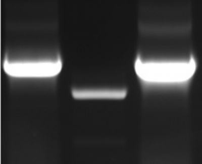 mycBioID-pBabe-puro